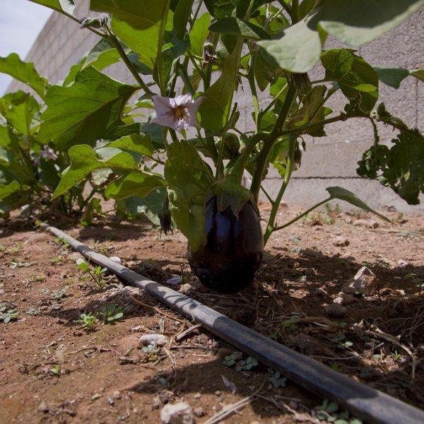 orto melanzane